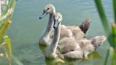 nature-bird-lake-wildlife-beak-fauna-swan-duck-neck-swans-vertebrate-waterfowl-water-bird-a-young-bird-ducks-geese-and-swans-867494